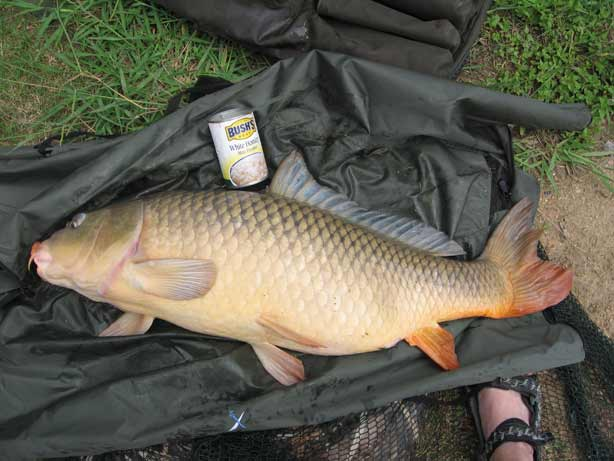 common carp. The best ways to catch carp on